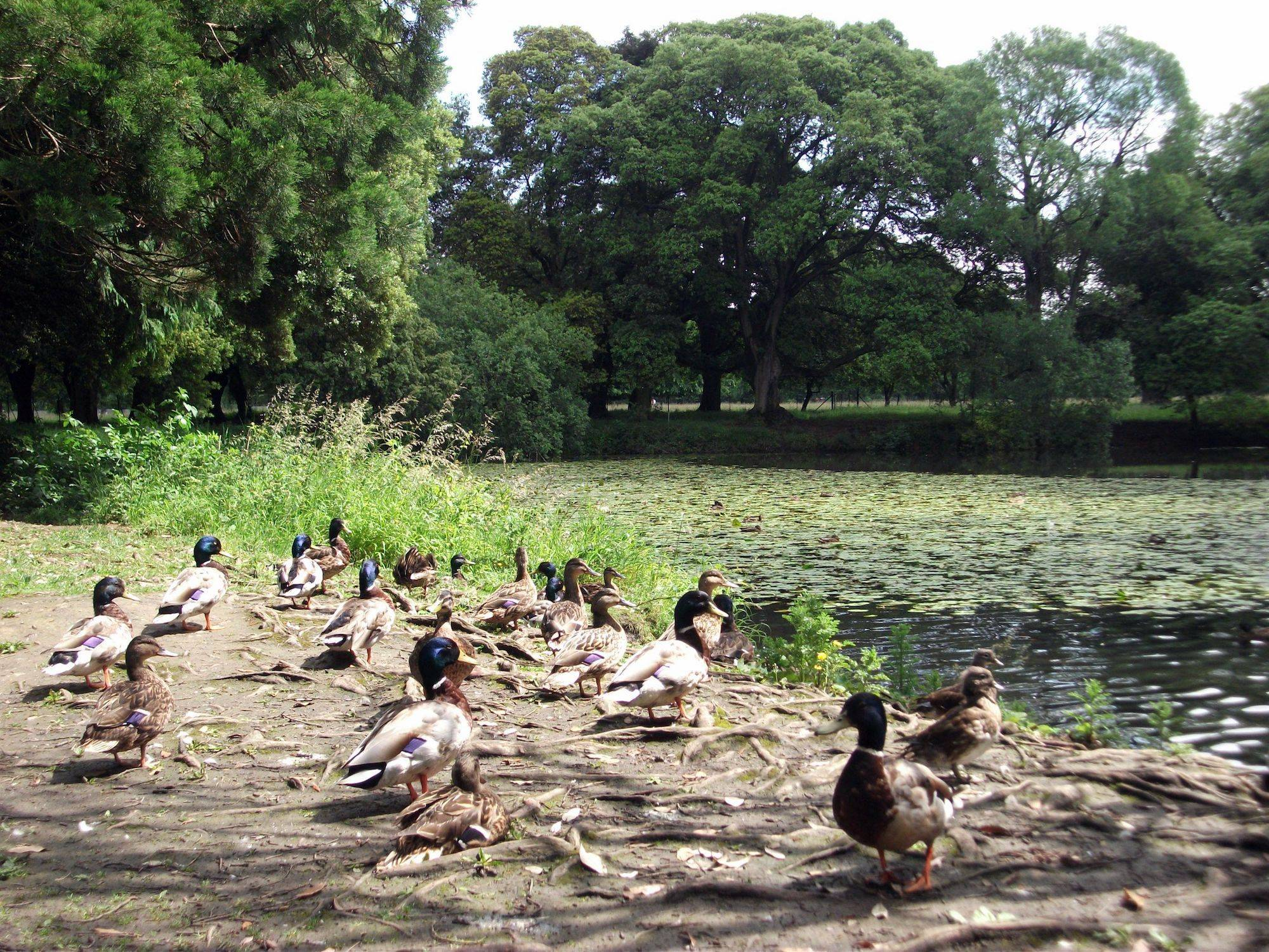 A gathering of ducks in the Park. OPW.